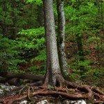 Baum am Königssee